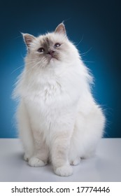 White cat on the white table over blue background