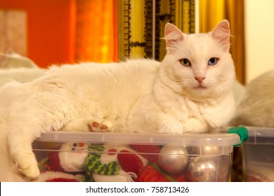 White cat over a plastic box with a lot of christmas ornament inside