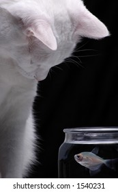 A white cat peers into a fish bowl in order to watch a swimming fish.