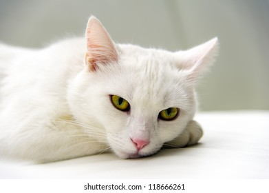 White cat portrait