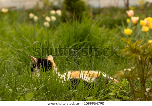 The white cat with red and black spots, lies in a green grass and enjoys a type of the blossoming spring garden.