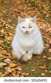 White cat sitting on the grass. Cat with red spots. Around yellow leaves. Autumn