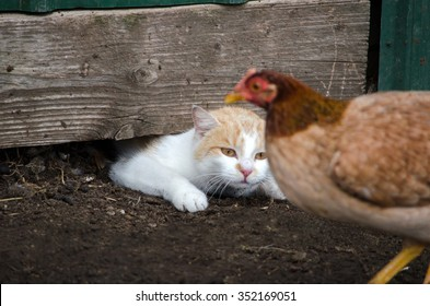 A white cat squeezes out from under a barn, to chase after an unsuspecting chicken who is happily strutting around the barnyard