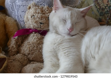 White cat with teddy bear