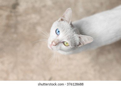 A white cat with two different colored eyes is looking straight up while standing on a blurred background