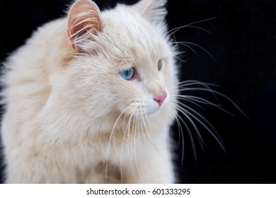 The white cat with various eyes.
