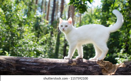 White cat for a walk in a beautiful summer forest.