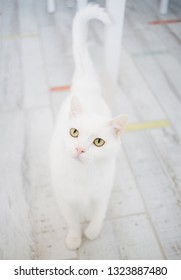 white cat walking on a wooden floor