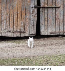 white cat walking towards the camera,  barn door background