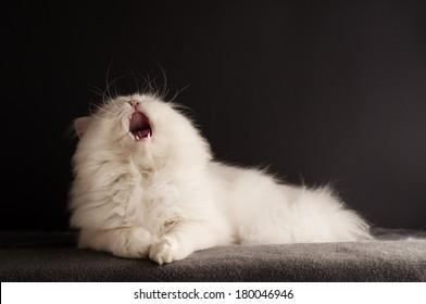 White cat yawning