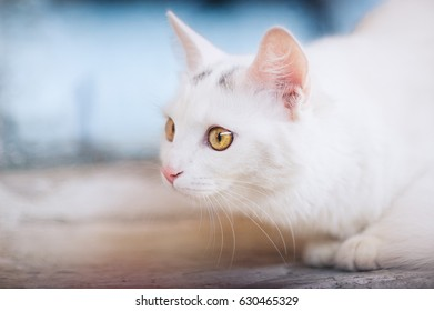 White cat with yellow and brown eyes