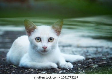 white cat with yellow eyes in the field