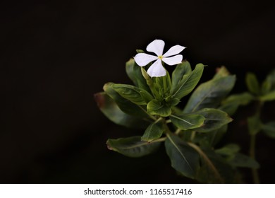 A white Catharanthus roseus, commonly known as the Madagascar periwinkle, rose periwinkle, or rosy periwinkle on black background
