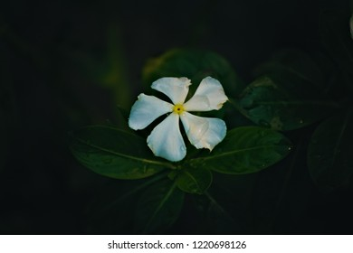A white Catharanthus roseus, commonly known as the Madagascar periwinkle, rose periwinkle, or rosy periwinkle.