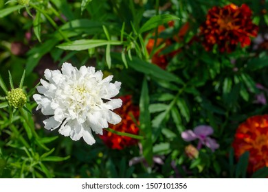 White Caucasian scabiosis against a dark flowerbed. Scabiosa caucasica