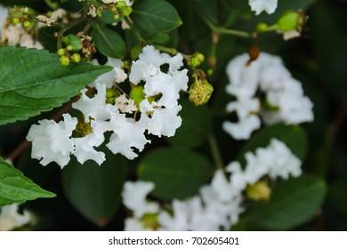White cedar blooming images stock photos vectors shutterstock white cedar flowers mightylinksfo