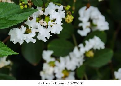 White cedar blooming images stock photos vectors shutterstock white cedar flowers mightylinksfo Gallery