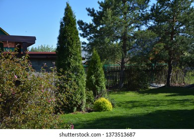 White cedar (Thuja occidentalis 'Smaragd') in a small garden. Two Thuja Smaragd at the entrance to the summer house. Sunny day.