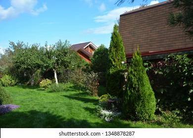 White Cedar Tree (Thuja occidentalis 'Smaragd') in a small garden. Two Arborvitae Emerald as an accent in the garden design.