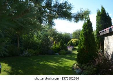 White Cedar Tree (Thuja occidentalis 'Smaragd') in a small garden. Two Arborvitae Emerald as an accent in the garden design. Sunny summer day