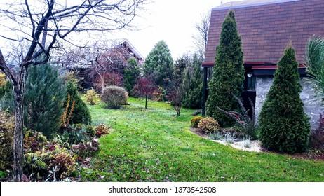 White Cedar Tree (Thuja occidentalis 'Smaragd') in a small garden. Two Arborvitae Emerald as an accent in the garden design. Autumn, November. Cloudy day.