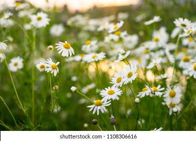 white chamomile, white daisy photo, daisy flowers, chamomile flowers, chamomile photo, daisy photo, daisy background, chamomile background
