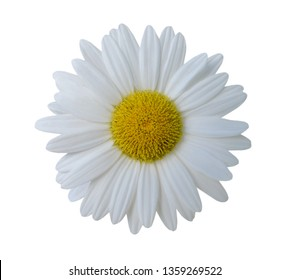 A white chamomile flower