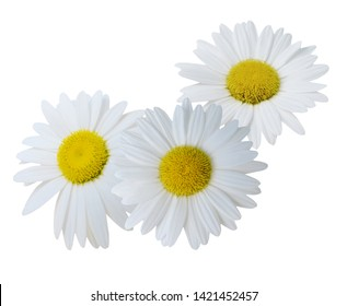 A white chamomile flower bunch isolated on white