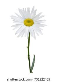 White chamomile flower isolated on white background