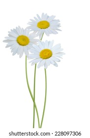 A white chamomile flowers