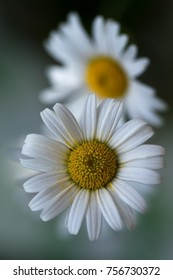 White chamomile (matricaria) in a garden on blured background. Shallow depth of field. Selective focus.
