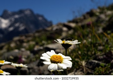 White chamomile on a mountain slope against the background of a gray rocky peak with the remains of unmelted snow.