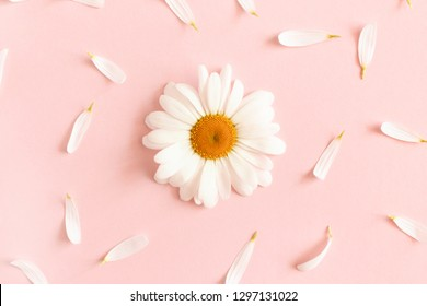 White chamomile on a pink pastel background. Pattern made of chamomile petals