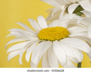 White  chamomile  on a yellow background.