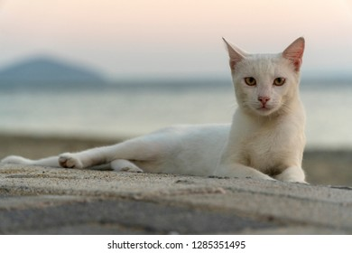 white characteristic stray cat at the beach in sunset, looking to camera very meaningfull