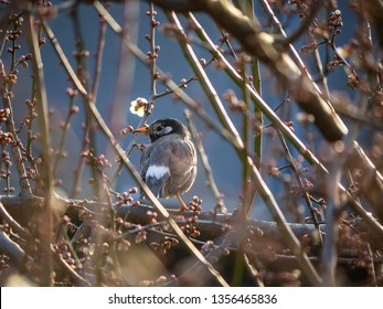 A white cheeked starling perches in a plum tree as the plum blossoms begin to open