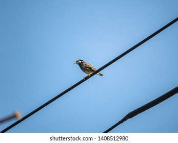A white cheeked starling, Spodiopsar cineraceus, perches on powerlines in a Japanese city.