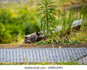 A white cheeked starling, Spodiopsar cineraceus, darts along a Japanese rice field in early spring.
