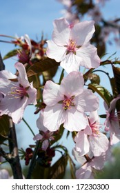 White Cherry blossom against blue sky