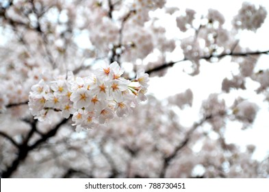 White cherry blossom background