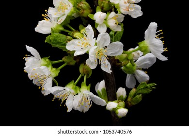 White Cherry Blossom, close up of blooming twig with black background