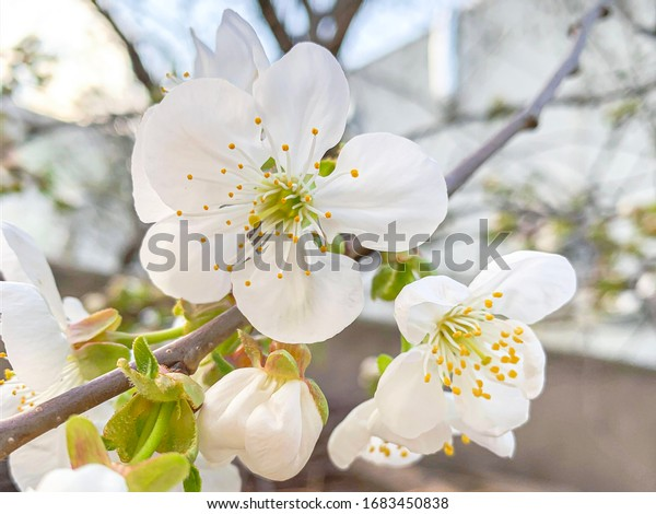 White cherry blossom on a blurry background. Hanami festival and enjoying beautiful flowers.