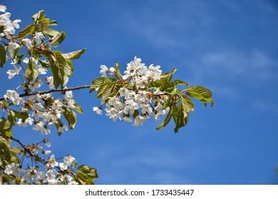 White cherry blossom on a twig by a blue sky