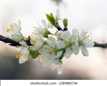 White cherry blossom in spring, Germany