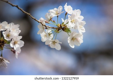 white cherry blossoms bloom in spring