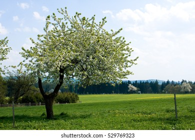 White cherry blossoms with blue sky