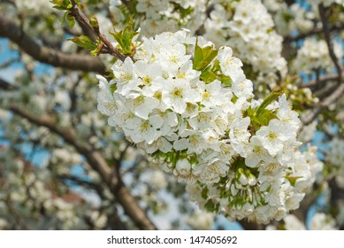 white cherry blossoms in full bloom