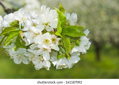 white cherry blossoms in full bloom