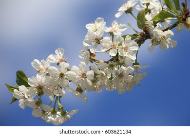White cherry blossoms on the blue sky. Beautiful background of spring season
