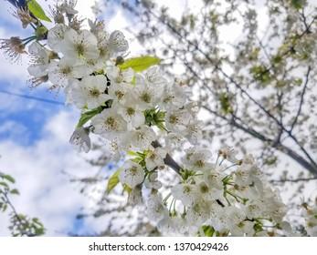 White cherry blossoms, Prunus cerasus,  in spring